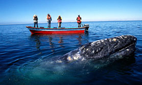 gray whale tours mexico